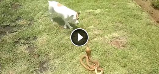 terrier vs snake