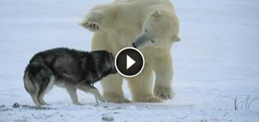 polar bear vs dog