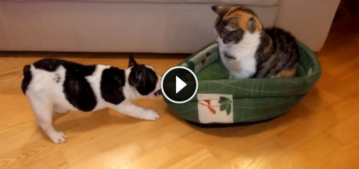 Puppy Makes Epic Attempt To Reclaim Bed From Super-Chill Cat
