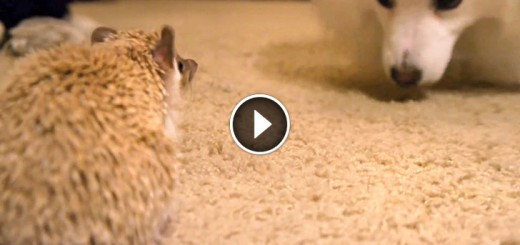 A Hedgehog Meets a Dog for the 1st Time