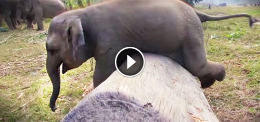 Clumsy Baby Elephant At Play Will Make Your Day!
