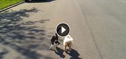 cat helps blind dog