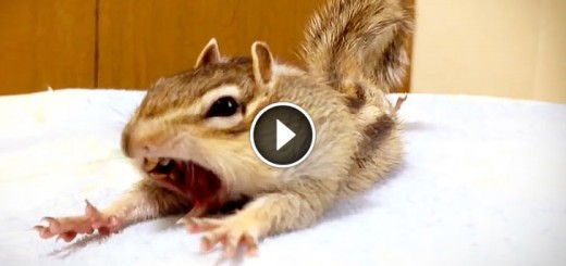 Chipmunk Adorable Morning Routine