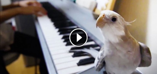 Cute Cockatiel Sing My Neighbor Totoro