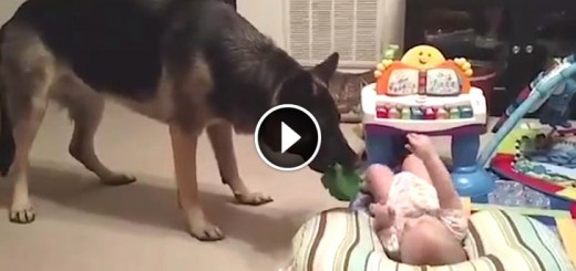 Baby and German Shepherd Play