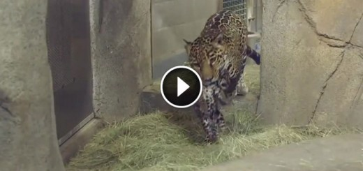 Mama Jaguar shows off her baby cub to the world.