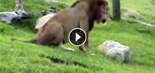Circus Lion Touches Grass First Time
