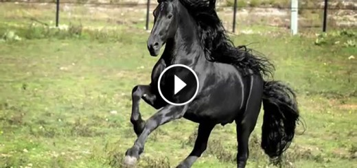 frederik world famous friesian stallion