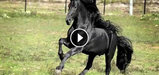 frederik world famous friesian stallion