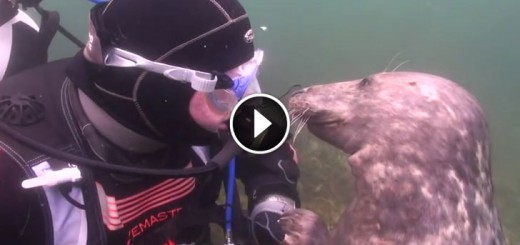Seal Demands A Belly Rub From A Diver