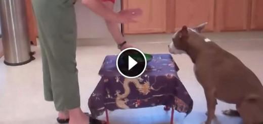 pit bull amazing tricks