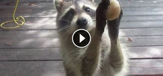 Rocksy the Raccoon knocks at the door for food!