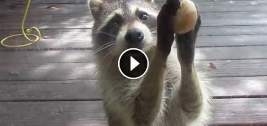 Rocksy the Raccoon knocks at the door for food!