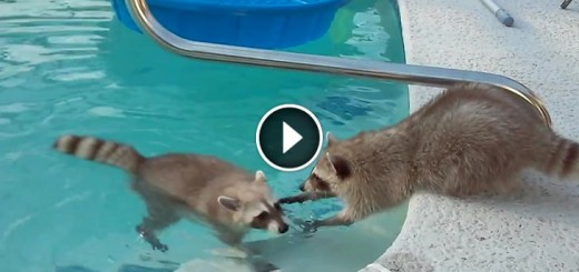 Raccoon swims in pool