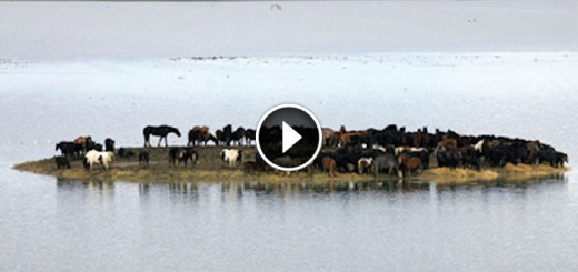 island trapped horses resque