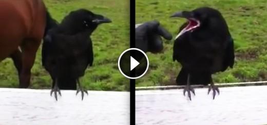 wild raven rescue