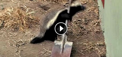 badger escape