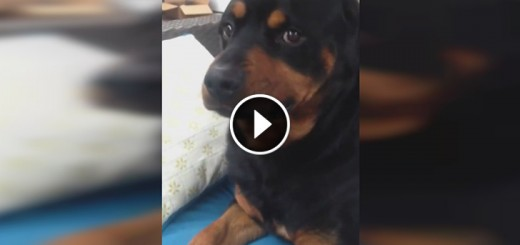 goofy rottweiler mean face