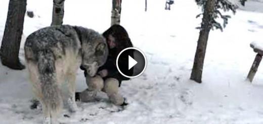 huge wolf snuggle