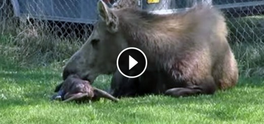 momma moose gives birth