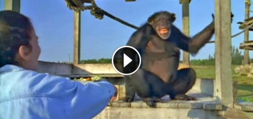 chimps reunite