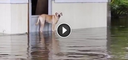dog saved flood