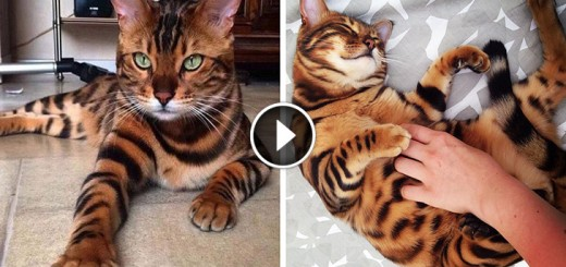 bengal cat mini tiger