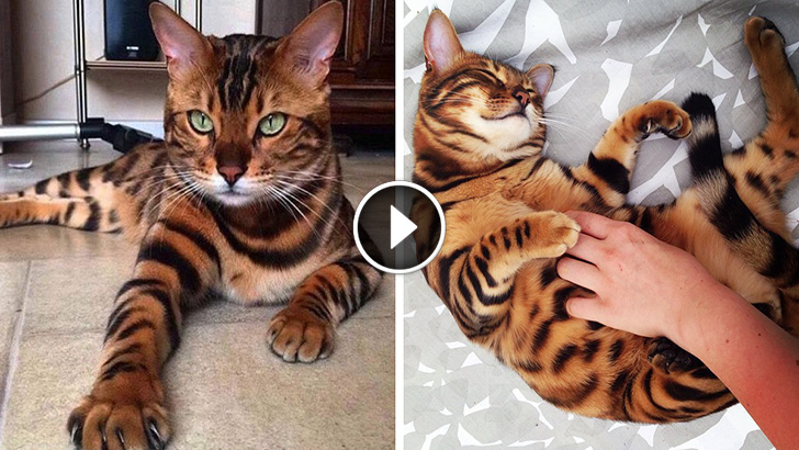 Bengal Cat That Looks Like A Tiger
