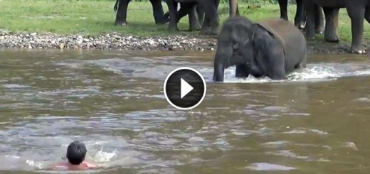 elephant save friend drowning