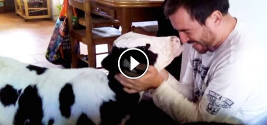 bull calf cuddles