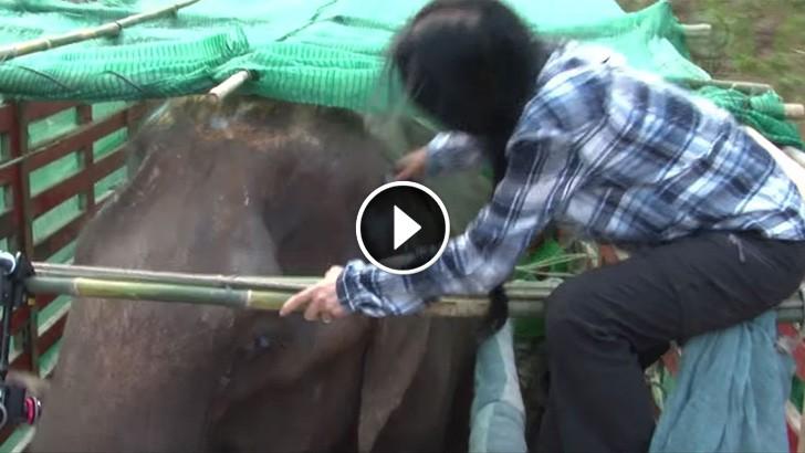 sook jai elephant rescue