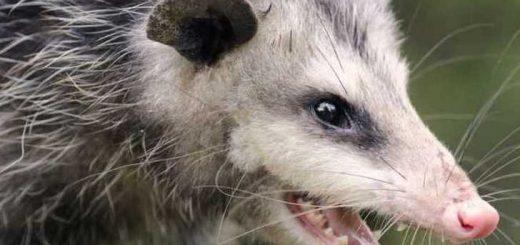 opossum push skunk